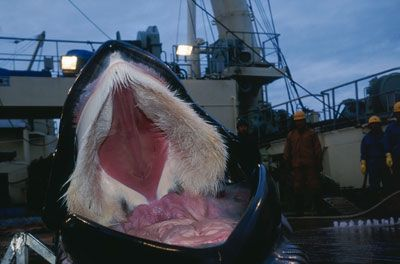 Blue Whale Teeth | ... from the water the blue and humpback whales are types of baleen whales