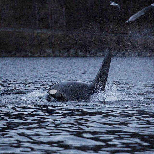 Pods of Orcas travel through the Norwegian fjords during the winter months in search of herring. I could've spent all day watching these beautiful creatures. • • • #thisworldtraveled #norway #visitnorway #visittromso #orca #killerwhale #kayak #outdooradventure #ouradventures #nature #wildlife #arctic #northernnorway #ig_northernnorway #arcticadventurestours @northernnorway @ig_northernnorway  #cetacean #marinelife #marinemammals #neverstopexploring #wanderlust #worldtravels #ig_addict…