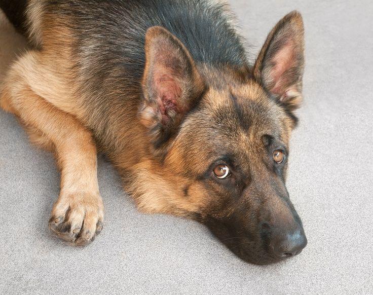 I Sverige kan man straffes hvis man lar hunden sin være hjemme alene i mer enn seks timer. Norske eksperter synes man godt kan la den firbente vente hjemme en hel arbeidsdag.