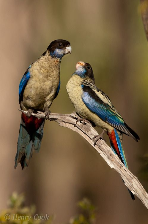 Northern Rosella (Platycercus venustus) is found in Australia's Top End, from the Gulf of Carpentaria, through Arnhem Land to the Kimberleys in open savannah country.