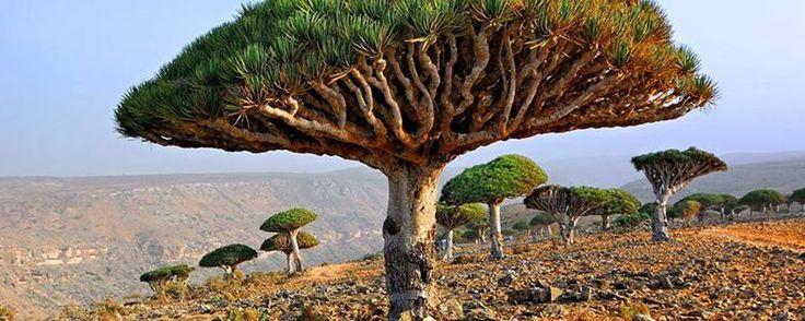 L'île de Socotra se situe dans la mer d'Arabie à l'entrée du golfe d'Aden au sud-est du Yémen et non loin des côtes de la Somalie. L'île fait partie de l'archipel de Socotra et affiche comme mensurations, 140 kilomètres de longueur et 40 kilomètres de large - #easyvoyage #easyvoyageurs #clubeasyvoyage #terresdevoyages #travel #traveler #traveling #travellovers #voyage #voyageur #holiday #tourism #tourisme #yemen #ile #island #socotra #nature