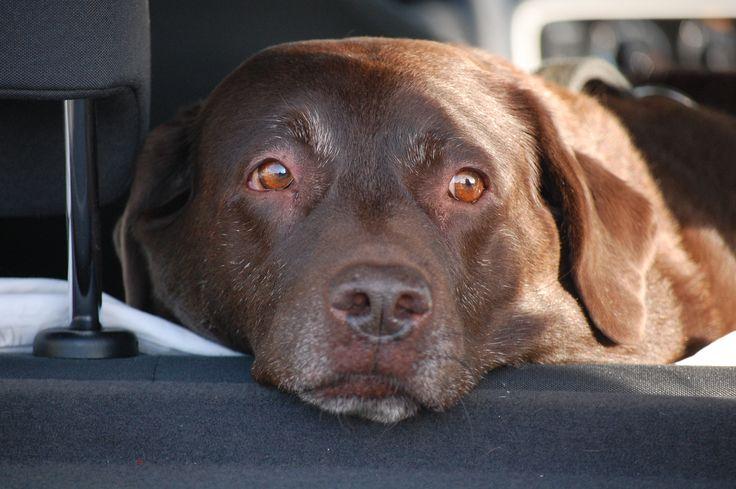Diva. Brown Labrador. Foto Margith Clarup.