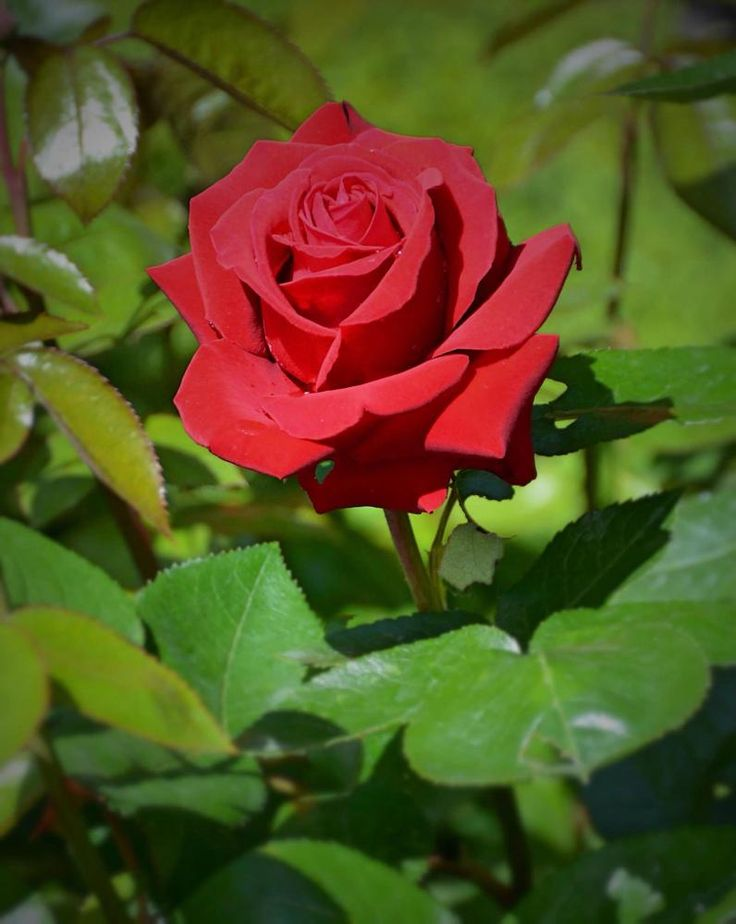 The kings red rose by gun.hjortryd