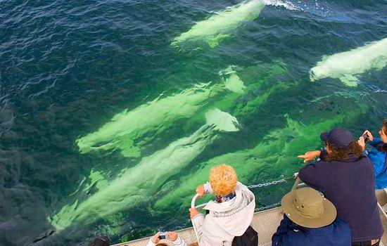 Belugas - Churchill, Manitoba: Manitoba Canada, Polar Bears, Churchill Other Activities Jpg, Places I D, Places I V, Beluga Seasons, Bears Seasons, Hudson Bays, Beluga Whales