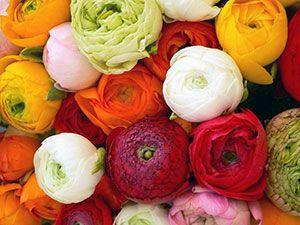 Цветок ранункулюс или лютик