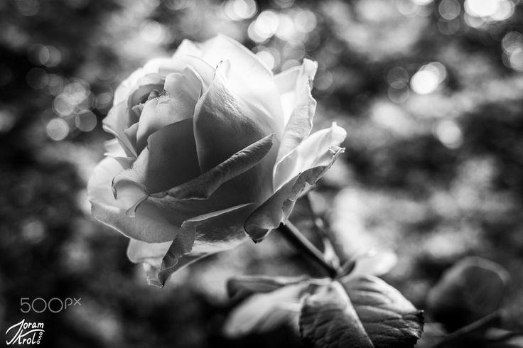 Rose by Joram Krol on 500px