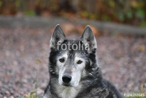 """Download the royalty-free photo """"Siberian husky portrait """" created by Ciaobucarest at the lowest price on Fotolia.com. Browse our cheap image bank online to find the perfect stock photo for your marketing projects!"""