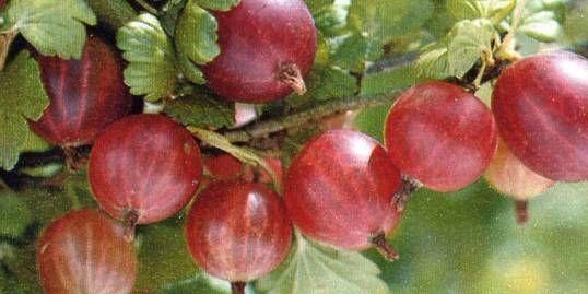 Les groseilles à maquereau: un fruit par pédoncule plutôt que grappes comme les gadelles. Info intéressantes sur ce site de jardinage biologique. EX. Si pucerons:paillez  les plants  de feuilles de fougères... à essayer!