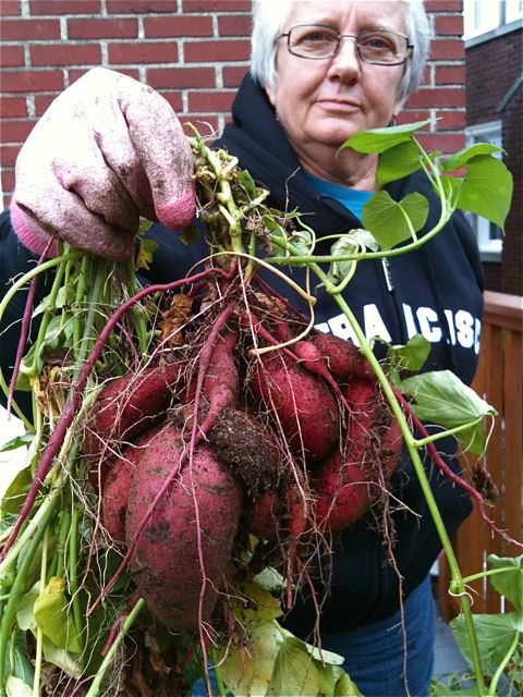 Cultiver ses patates douces en pot - How to grow sweet potatoes - They did it in pots and looks like they got a good harvest from it!