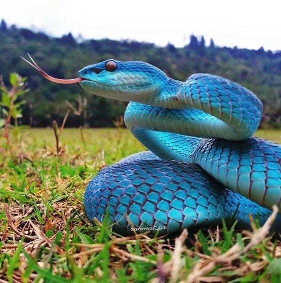 Warna biru pada ular