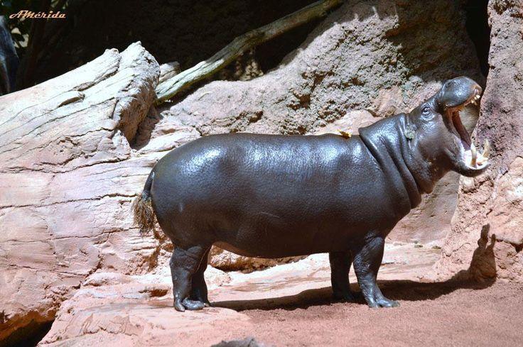 Hipopótamo pigmeo