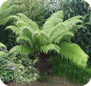 boomvarens dicksonia soorten verzorging winterbescherming overwinteren tropische planten