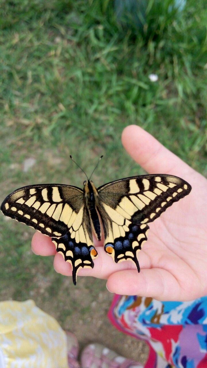 Махаон, хвостоносец махаон, бабочка семейство парусники