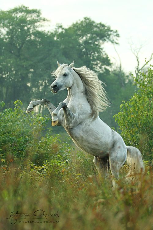 Arabian stallion El Salamo