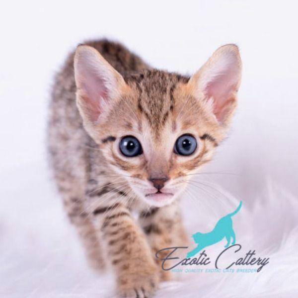 Bronze F5 Female Savannah Savannah Chat Cats Savannah Kitten