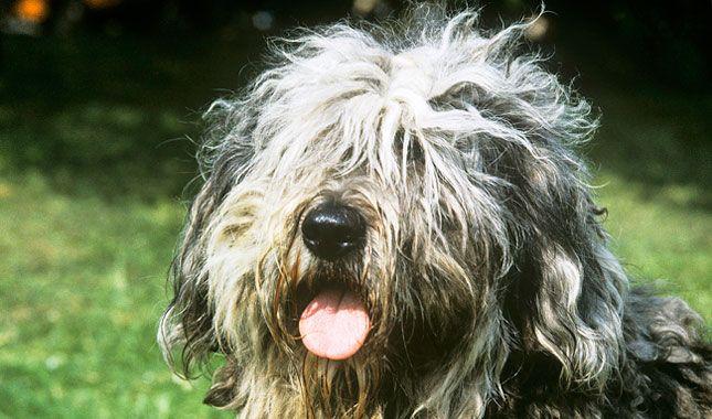100 best Bergamasco Shepherd images on Pinterest | Dogs ...