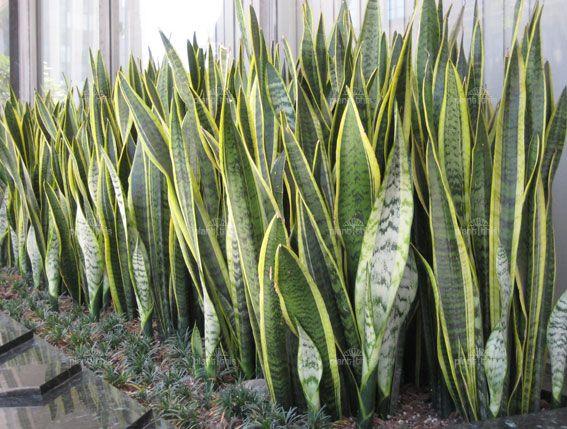 Plant World: Sansevieria trifasciata
