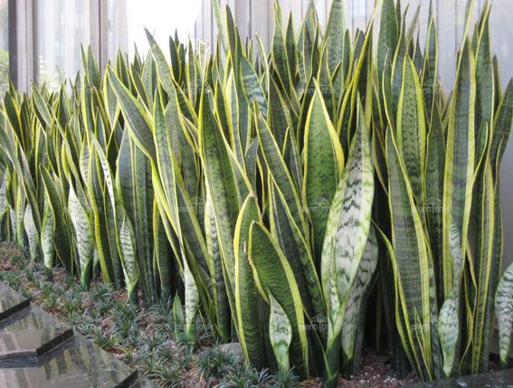 Sansevieria trifasciata laurentii | Mother-in-Law's Tongue, Snake ...