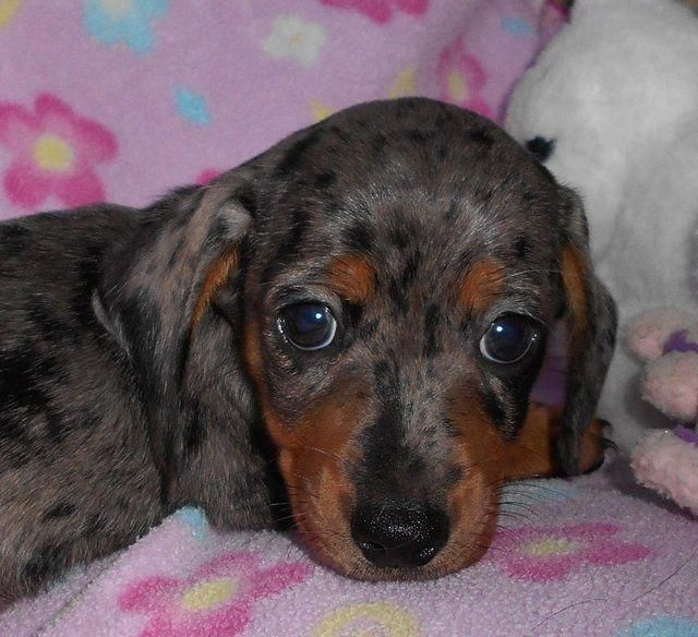 Image Result For Smooth Coat Dachshund Show Dogs