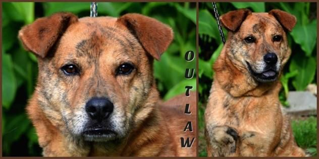 Outlaw  Dog • Chow Chow & Terrier • Adult • Male • Medium  Community Animal Rescue & Adoption, Inc. (CARA) Jackson, MS