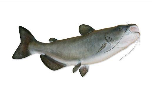 31 best fish catfish images on pinterest cat fishing for Catfish aquaponics