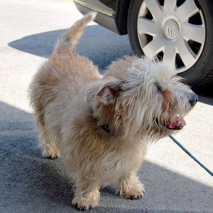 11 Dog Breeds That Are Gentle Giants Glen of imaal