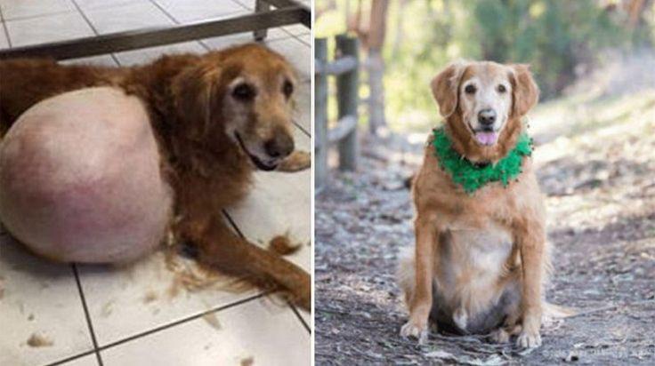 La mujer que abandonó a un perro con un tumor gigante no podrá volver a tener animales en su vida #golden #goldenretriever #tumor #perro #perros #noticias #mascotas #mascota #noticia #historias #eeuu #newportbeach