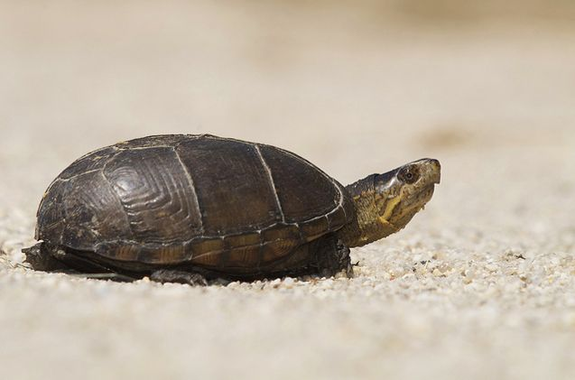 The Mud Turtle is a popular breed of turtle that is kept as a pet.