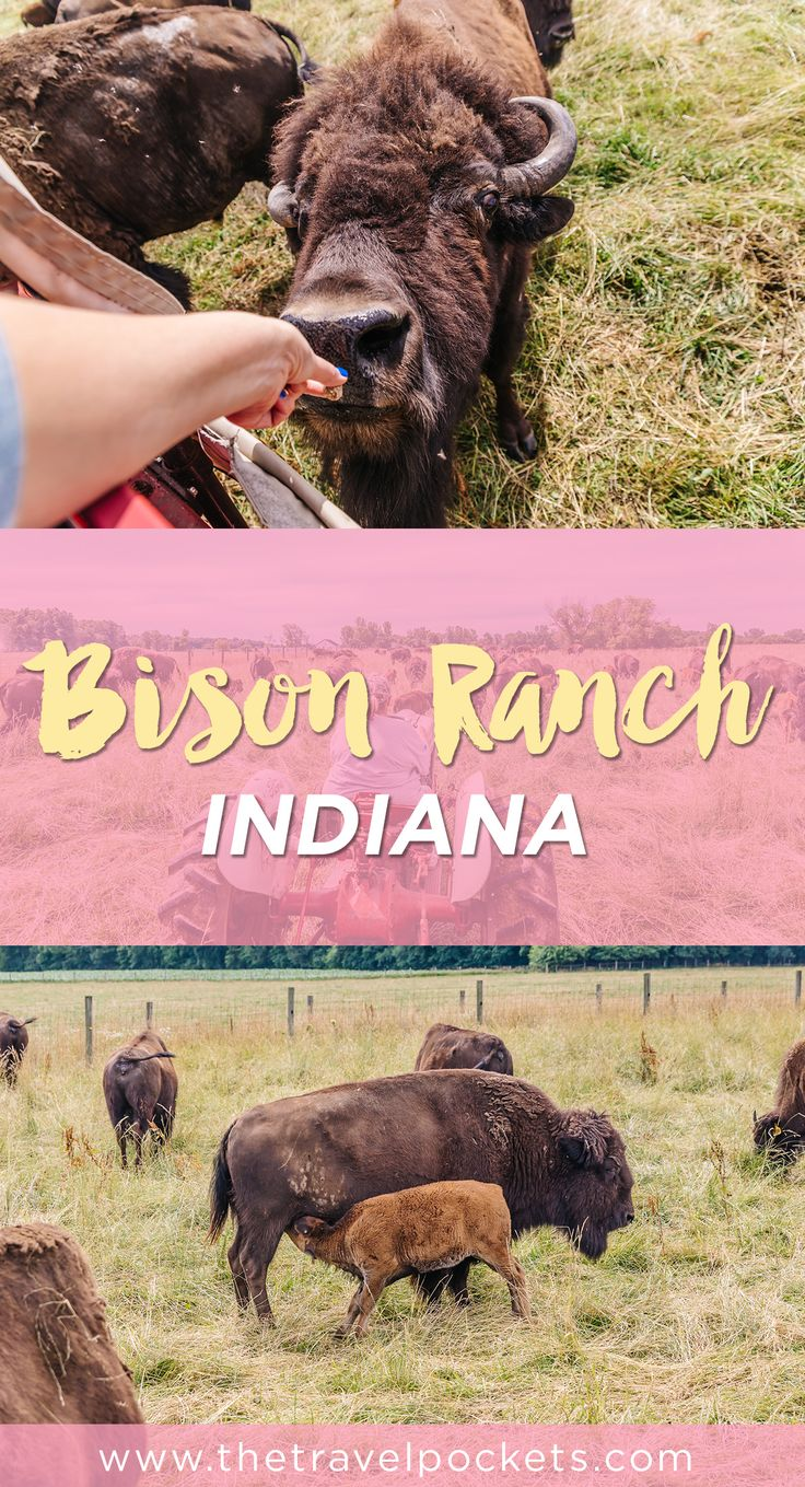 Feed some cute bison at the Bison Ranch in Indiana!