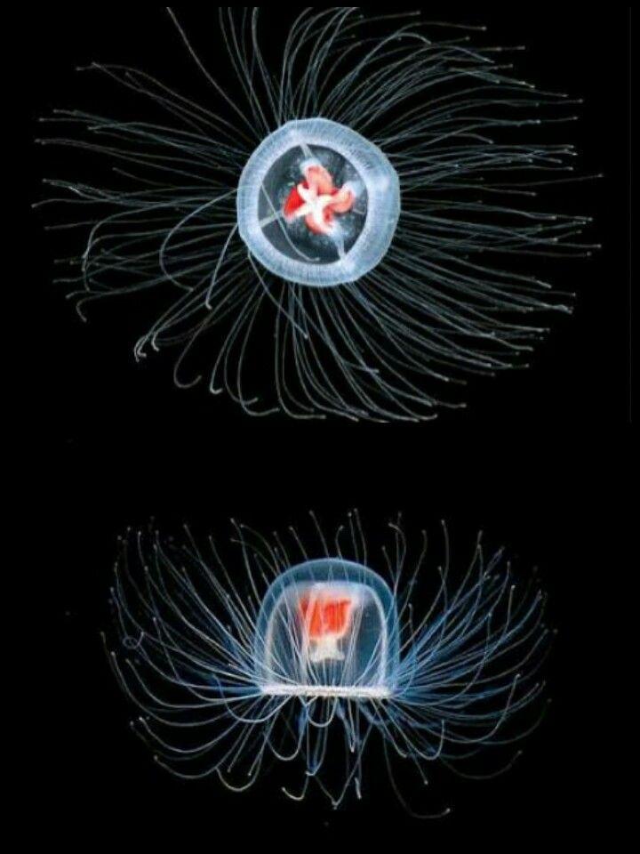 İnsanoğlunun yıllardır kafa yorduğu 'ölümsüzlük' bir denizanasına nasip oldu. Okyanuslarda yaşayan minik bir canlı, asırlardır insanoğlunun sırrını çözmeye çalıştığı ölümsüzlüğü keşfetti. 'Turritopsis nutricula' isimli 4-5 milimetre çapındaki denizanası dünyanın ölmeyen tek canlısı  cinsel olgunluğa geldiğinde yani daha fazla üreyemediğinde genetik bir değişim geçiriyor ve tekrar ergenlik yaşlarına, yani denizanasına dönüşmeden önceki evreleri olan 'polip'e geri dönüyor ve sürekli…