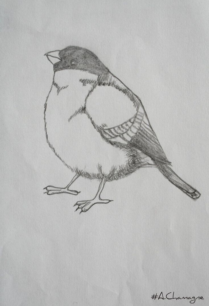 Oiseau Dessin Passion Of Drawing A Chamagne