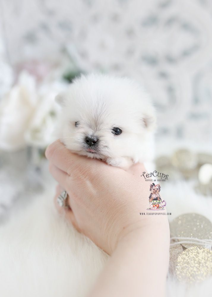 Micro Teacup Maltese Pomeranian Maltipom Puppy For Sale 400 A