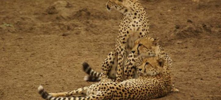 The cheetah is the world's fastest land mammal. With acceleration that would leave most automobiles in the dust, a cheetah can go from 0 to 60 miles (96 kilometers) an hour in only three seconds. These big cats are quite nimble at high speed and can make quick and sudden turns in pursuit of prey.