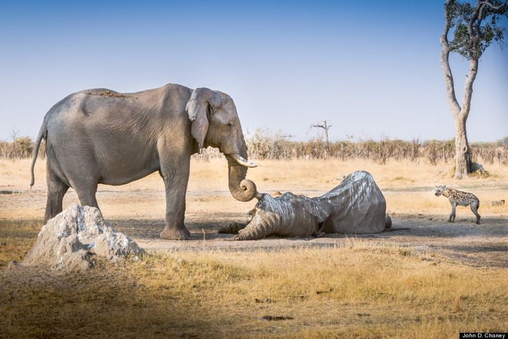 The female elephant in the image, which was taken in 2007, stood guard over the body of her friend for hours to pay her respects, chasing off birds and predators.She then wrapped her trunk around the other's tusk in a heartbreaking goodbye.The international ivory trade is thriving and poachers are going to extreme lengths to hunt and kill the giants for their tusks.Wildlife conservation groups estimate upwards of 35,000 elephants were killed in 2012.