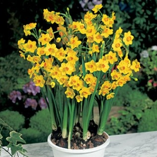 how to grow narcissus indoors