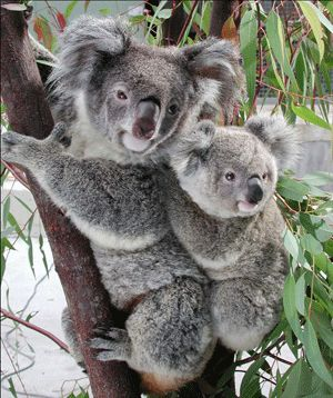 Got any Eucalyptus trees nearby for these cuddly friends?