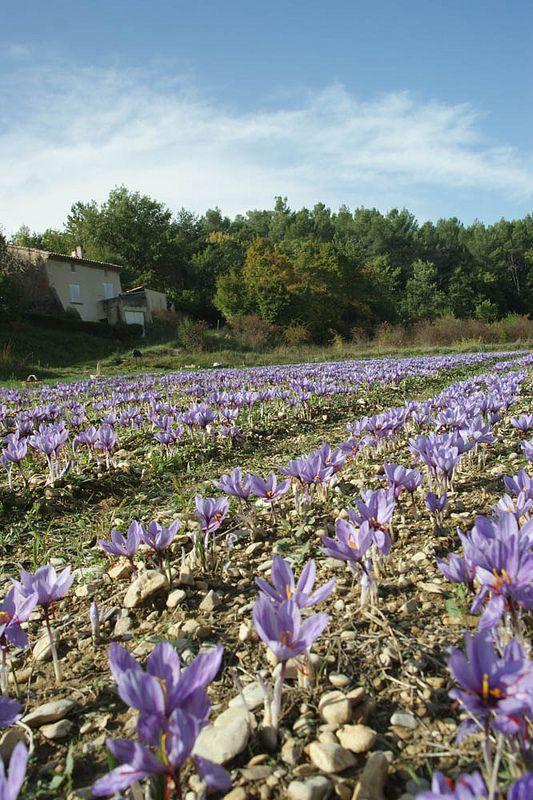 Crocus Sativus 134 Safran De Provence Gardening Pinterest