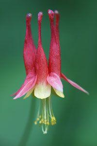 Eastern wild columbine flower