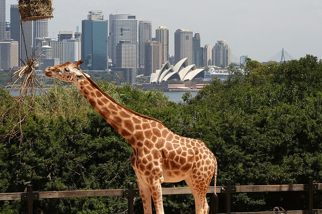 Giraffe and Sydney Opera House by Flickr user D5277, 2007