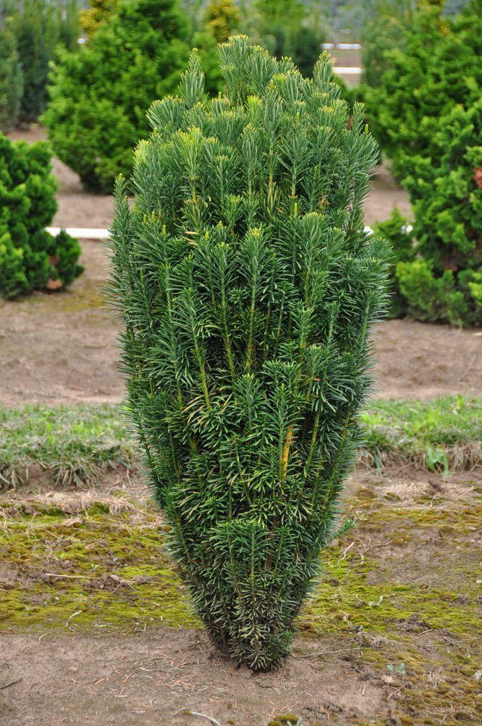 Cephalotaxus harringtonia 39 fastigiata 39 fastigate means for Outdoor bushes and plants