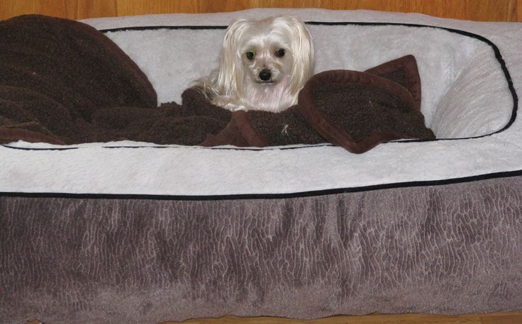 17 best images about angel my yorkie maltese mix on. Black Bedroom Furniture Sets. Home Design Ideas