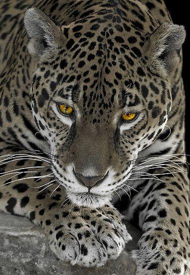 Jaguar...