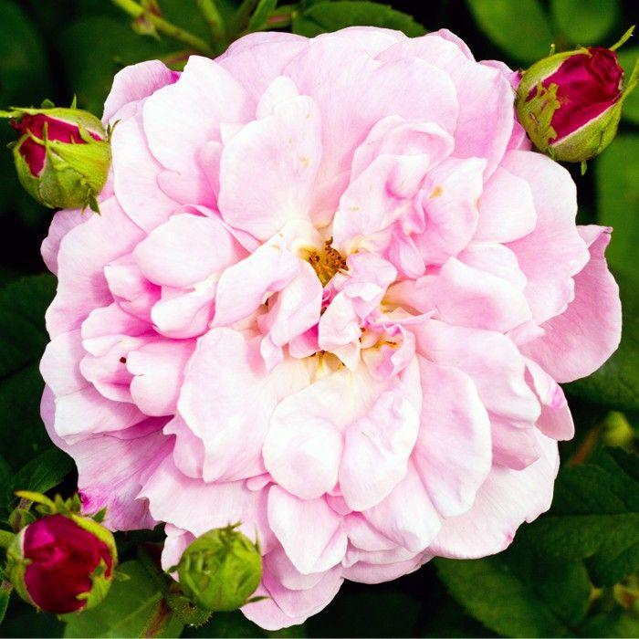 Rosa alba 'Belle Amour'   Zon 5. Gammaldags buskros som hittades så sent som på 1950-talet i ett kloster i Normandie. Blommorna är skålformade och halvfyllda med en unik korallrosa till laxrosa färg - ovanligt bland gammaldags rosor. Engångsblommande. Doftar myrra, anis och te. Får fina nypon i olika former. Albarosorna är bland de friskaste och härdigaste rosorna. De klara de flesta jordmån och är anspråklöst vad det gäller näring, gödsel och beskärning. 1,8 x 1,5 m.