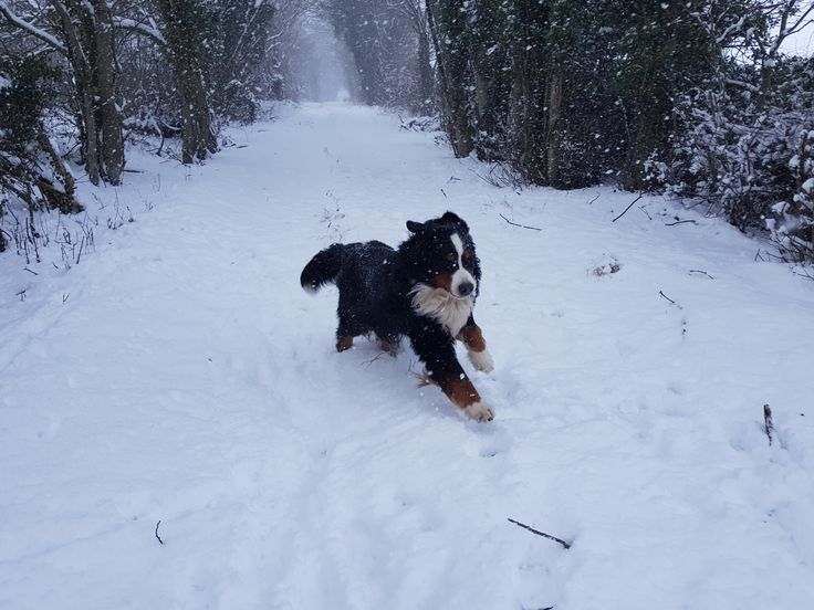 Hund nyter snøværet i England. Dog enjoying the snow in England.