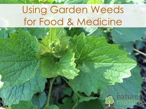 Spring is in full swing, and that means the wild edibles (aka weeds) are sprouting up all over the place! Garden weeds are considered a nuisance by many homeowners and gardeners alike, but did you know thatyou can actually use many of those garden weeds for food and medicine? What is a weed? A plant …