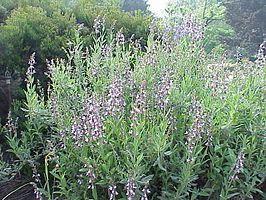 Kruiden - Salie - Salvia officinalis