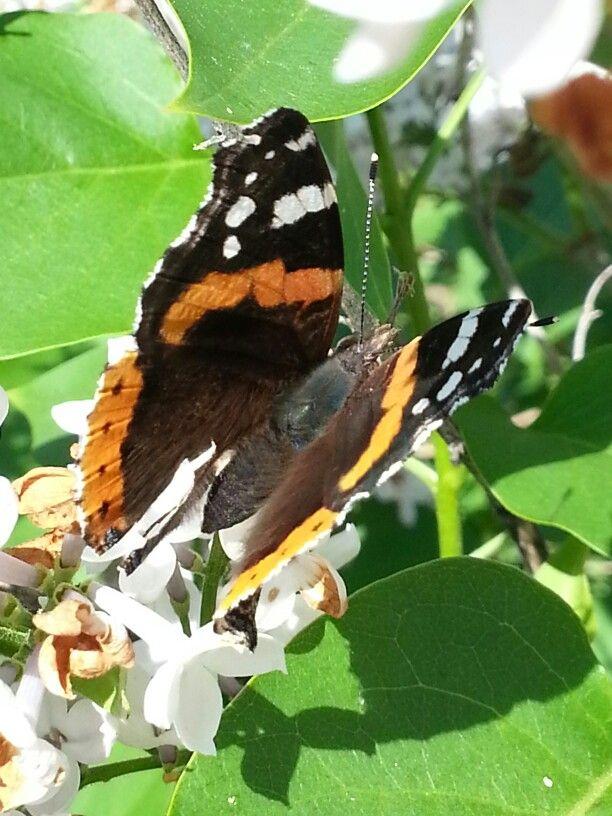 Foto sommerfugl