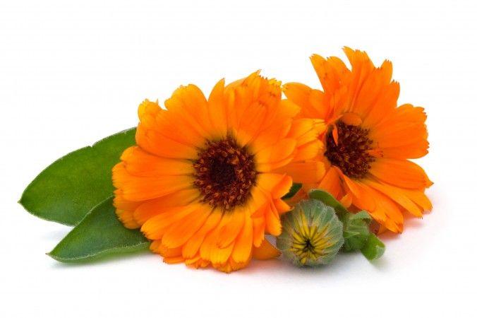 A körömvirág, vagy ahogy sok helyen találkozhatunk a nevével a calendula évelő lágyszárú növény, mely 30-60 cm magasra is megnőhet. …