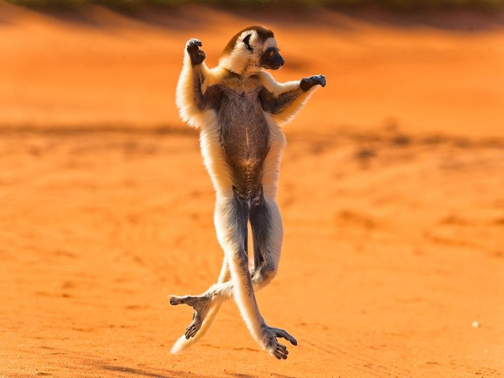 Verreaux's Sifaka, Madagascar: Let Dance, Happy Dance, Black Swan, National Geographic, The Challenges, Funny Animal, Lemur, Photo, The Roller Coasters