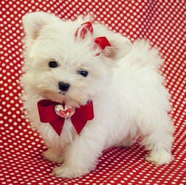 Teacup Maltese Puppies | Pics Photos - Maltese Puppies For Sale Teacup Maltese Puppy Breeders ...